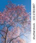 wild himalayan cherry   prunus... | Shutterstock . vector #1011581887