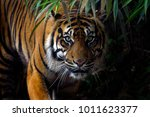 Beautiful Sumatran Tiger On Th...