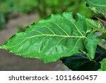 The Big Leaf Of The Tomato Tre...