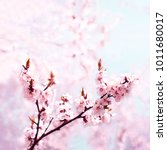 cherry pink blossoms close up.... | Shutterstock . vector #1011680017
