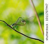 two dragonflies  dainty bluet ... | Shutterstock . vector #1011707947