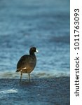 Small photo of American Coot (Fulica americana), on a mud flat