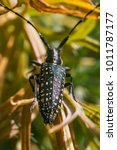 Small photo of Macro of a Coleoptera: Cerambycidae. Citrus longhorn beetle Anoplophora chinensis - White speckled black beetle sitting on a blade of grass, Sardinia, Italy, Europe