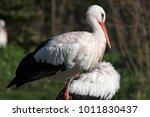 black and white stork stork...   Shutterstock . vector #1011830437