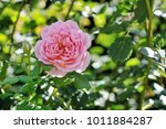 beautiful pink rose from the...   Shutterstock . vector #1011884287