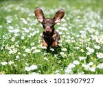 Stock photo dachshunds puppy are playing on the grass 1011907927