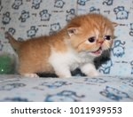 Stock photo exotic shorthaired little red tabby kitten is calling his mom 1011939553