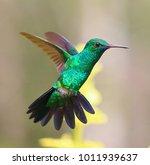 an emerald hummingbird in... | Shutterstock . vector #1011939637
