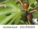 black mission fig also known as ... | Shutterstock . vector #1011950203