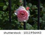 beautiful pale pink heritage...   Shutterstock . vector #1011956443