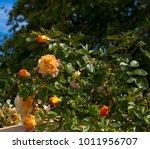 beautiful yellow tinged pink ...   Shutterstock . vector #1011956707
