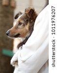 Rough Collie Puppy Profile...