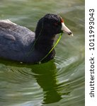 Small photo of An American coot with the grasses it is feeding on drip from its bill and head