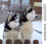 husky dogs in winter | Shutterstock . vector #1012121527