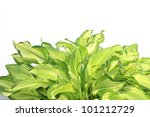 Hosta leaves - stock photo