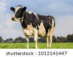 dutch holstein black and white... | Shutterstock . vector #1012141447