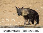 elusive and rare brown hyena | Shutterstock . vector #1012223587