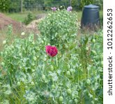 Small photo of Flower Head of an Opium Poppy (Papaver somniferum) on an Allotment in Rural Somerset, England, UK