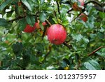 red apple on a rainy day | Shutterstock . vector #1012375957