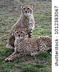 Small photo of Pair of young Cheetahs (Acinonyx jubatus)