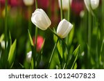amazing nature of couple white... | Shutterstock . vector #1012407823