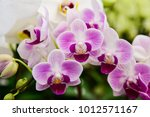 pink phalaenopsis or moth... | Shutterstock . vector #1012571167
