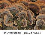 trametes  turkey tail | Shutterstock . vector #1012576687