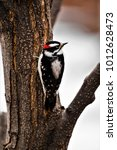 Small photo of One of the most interesting and colorful backyard birds is the Downy Woodpecker. It feeds on insects, seeds, and comes readily to suet feeders. It occupies a vast range from coast to coast.