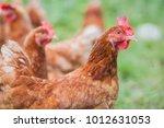 free range hens. happy hens in... | Shutterstock . vector #1012631053