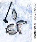 crappies laying on the ice from ... | Shutterstock . vector #1012670017