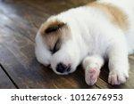 thai bangkaew dog   puppy... | Shutterstock . vector #1012676953