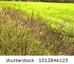 closeup grass and weed around... | Shutterstock . vector #1012846123