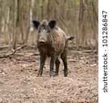 wild wild boar in field   Shutterstock . vector #101286847