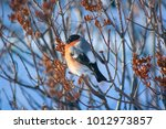 bullfinches on the branch | Shutterstock . vector #1012973857