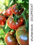 ripe tomatoes on the vine in an ... | Shutterstock . vector #1012993147