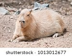 the capybara is a very large...   Shutterstock . vector #1013012677