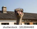 Ostrich Head Close Up In...