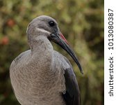 Small photo of Ibis bird usually found in Sub Saharan Africa. It's long beak is used to probe the soil to extract worms and grubs to eat. Eats insects. Loud shrill cry. Hadeda is the common name for this large bird.