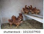 hen in the hen house | Shutterstock . vector #1013107903