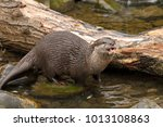 asian small clawed otter  aonyx ... | Shutterstock . vector #1013108863