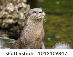 asian small clawed otter  aonyx ... | Shutterstock . vector #1013109847