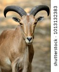 Small photo of Single Arui Barbary sheep in zoological garden
