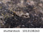Small photo of Epinotia signatana moth in the family Tortricidae. Sitting on a rock.