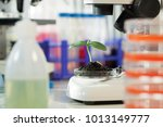 young  green plant on petri... | Shutterstock . vector #1013149777