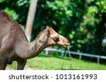 Small photo of Female dromedary or Arabian camel (Chordata: Mammalia: Artiodactyla: Camelidae: Camelus dromedarius) eating a green plant isolated with soft green background inside the zoo cage, during the day
