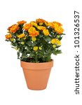Orange Chrysanthemum pot plant in clay pot - stock photo