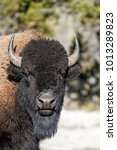 Small photo of Bison or American buffalo in Yellowstone National park