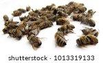 dead honey bees  found outside... | Shutterstock . vector #1013319133