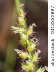 Small photo of Knotroot foxtail, Slender pigeon grass. close up. macro.