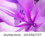 Lily Flower Of Purple Color...